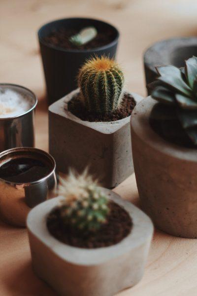 plante salon cactus