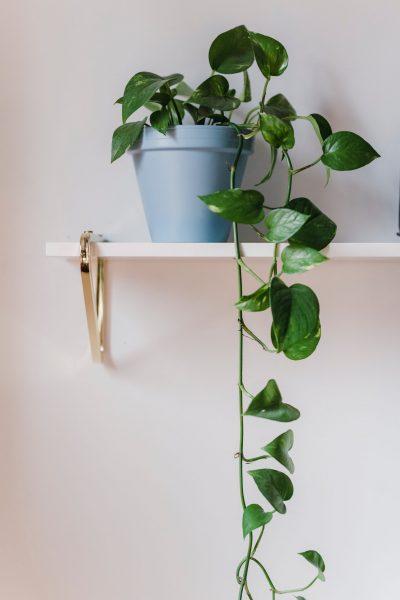 plante salon scindapsus
